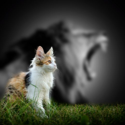 Image of domestic kitten with lion bokeh in background